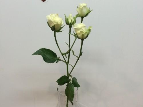 Роза кустовая белая