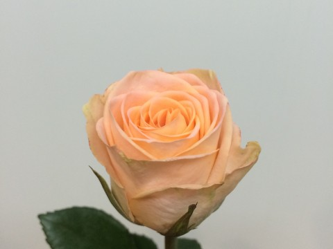 Роза Мэй Фэйр
