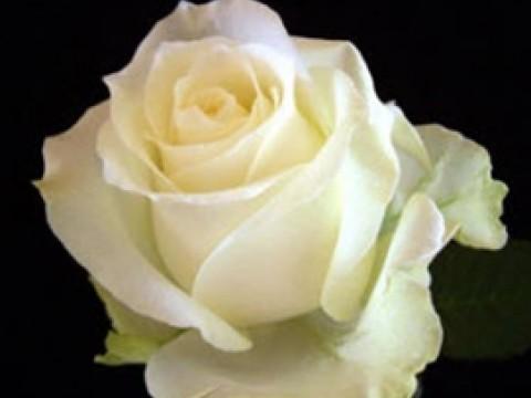 Роза Белая Аваланш 60 см