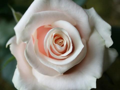 Роза Талея 60 см