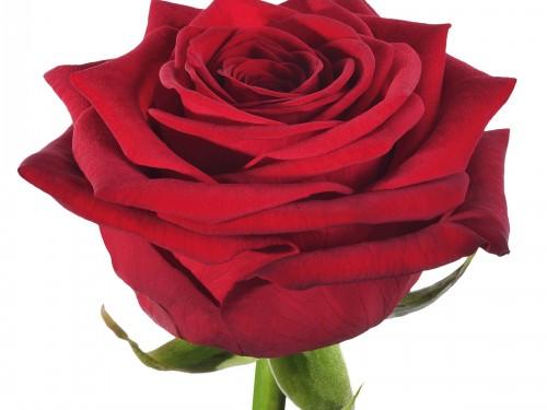 Роза Ред Наоми 70 см